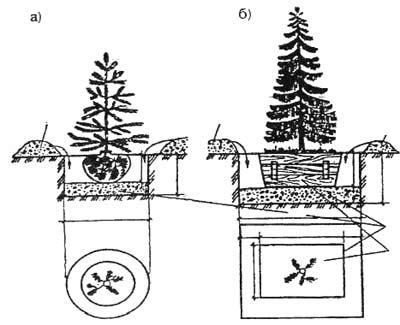 Схема посадки хвойных деревьев