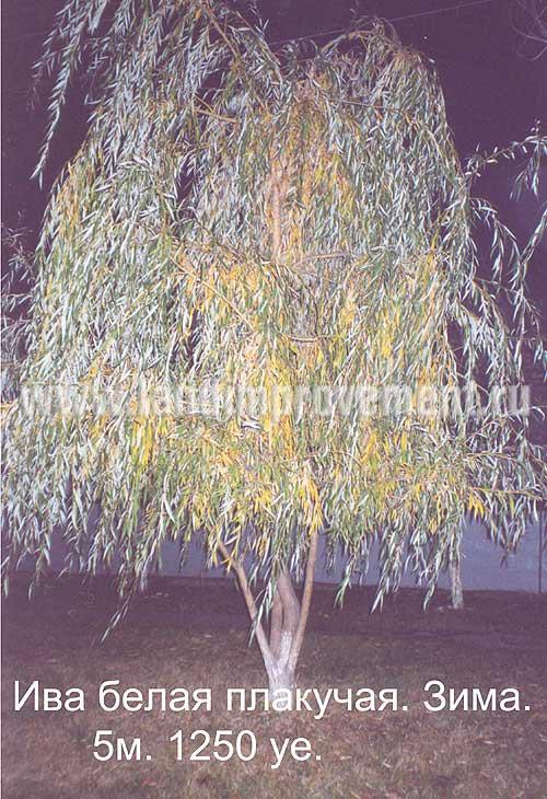 деревьев схемы ива