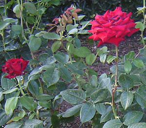 Розы, посадка декоративных кустарников