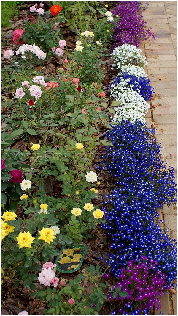 Рассада многолетних цветов для клумбы 43